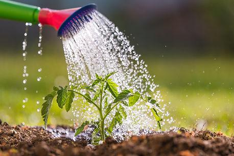 Watering seedling tomato plant in greenhouse garden.jpg