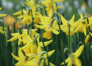 """""""Spring daffodil"""" guided meditation"""