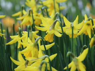 """Spring daffodil"" guided meditation"