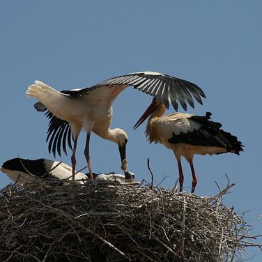 Storks of Silves