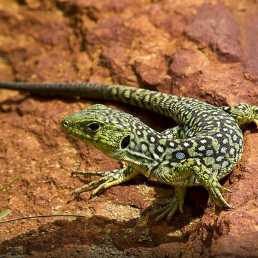 Portugal abounds in reptile species