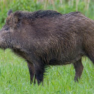 Javali - Portuguese wild boar