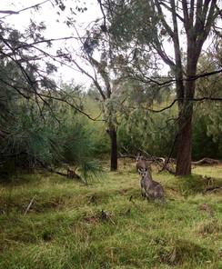 Lysterfield Lake Grey Kangaroos