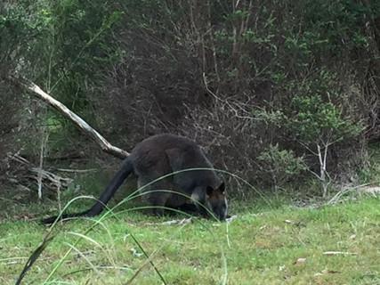 Lysterfield Lake swamp wallaby