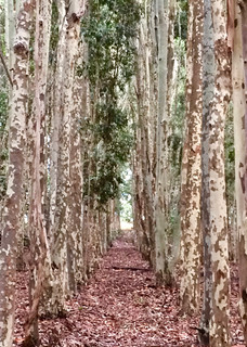 Lysterfield Lake Plantation Gum trees