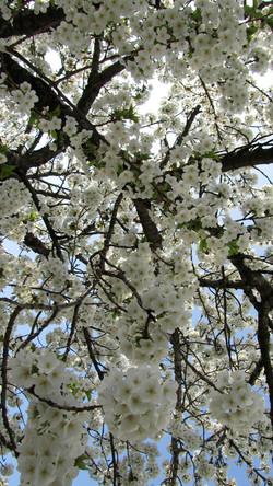 Blossomy Spring