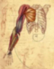 7Arm Anatomy & ribcage_00000.jpg