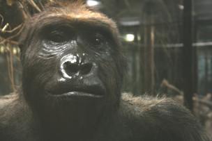 Ausgestopfter Gorilla