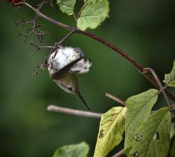 hummingbird-in-torpor-elaine-snyder