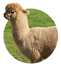140-1406582_alpaca-hd-png-download.png