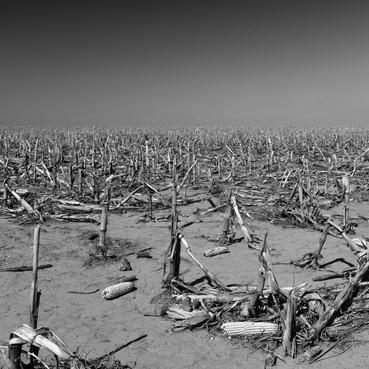 cornfield (mono)