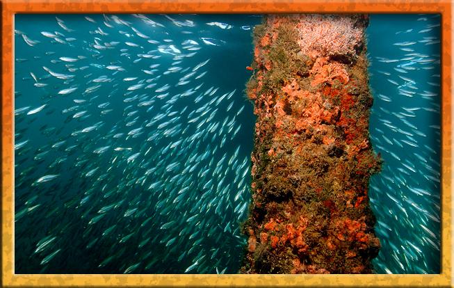 Baitfish under pier