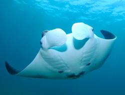 Manta ray gliding by