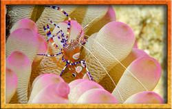 Local shrimp
