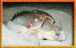 Sea turtle nesting