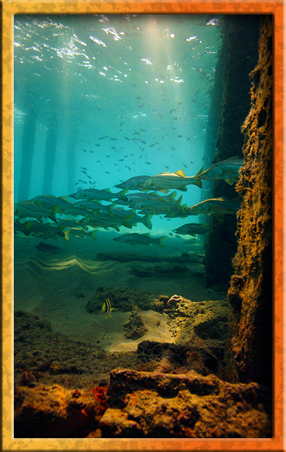 Snook gathering under pier