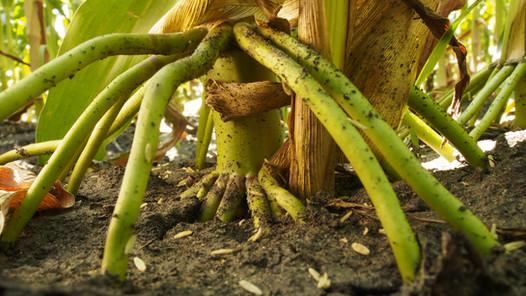 Brace roots of corn plant in field
