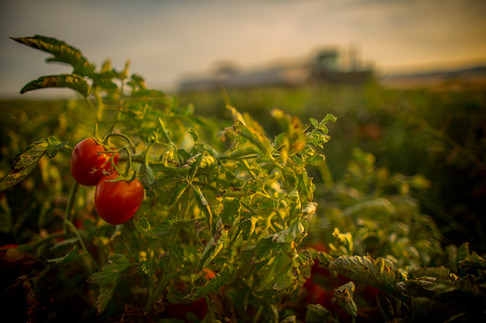 Tomato harvest California