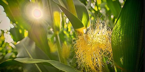 Corn silk and sunshine