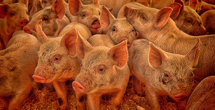 Piglets in Trailer