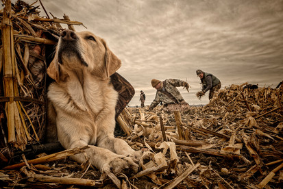 Field hunting dog in blind waterfowl