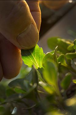greenhouse seedling kale inFarmer's thumb hand vegetable