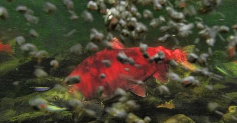 Salmon heads upstream in Alaska