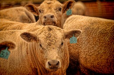 Beef cattle in feed lot