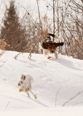 Snowshoe Hare and Beagle
