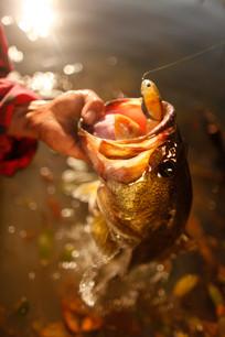 Largemouth Bass Texas