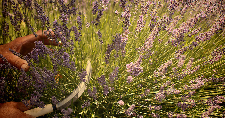 Organic lavender harvest cut with knife California