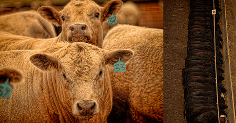 Beef Steers in Nebraska USA Feed lot