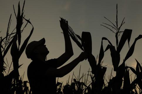 Young Farmer Inspecting Corn