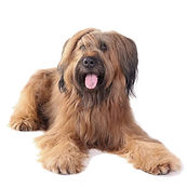 Dog-Briard-An_adult_Briard_with_a_lovely