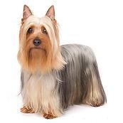 silky-terrier-photo-1_1.jpg