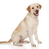 labrador-retriever-sh_384052714-wit-min-