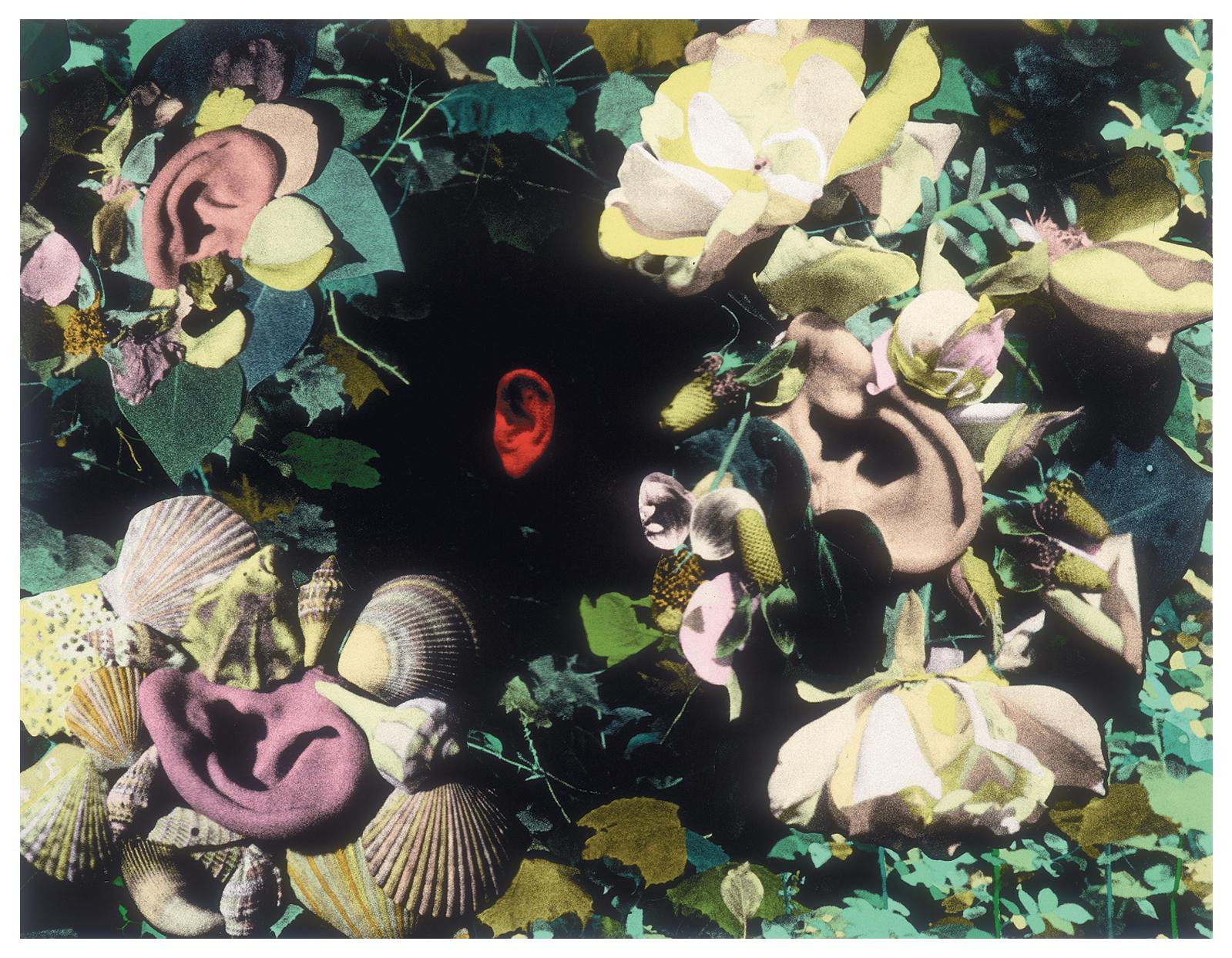 Auricula 8/1991