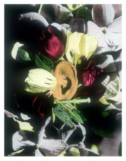 Auricula 4/1/1997