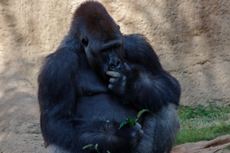 Gorilla_DeepThougts