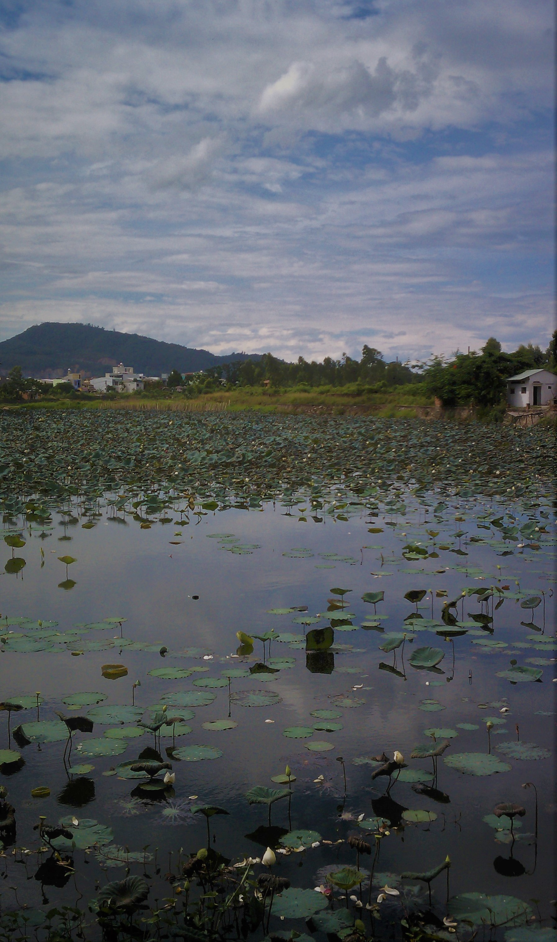 Vietnam_WaterLilly