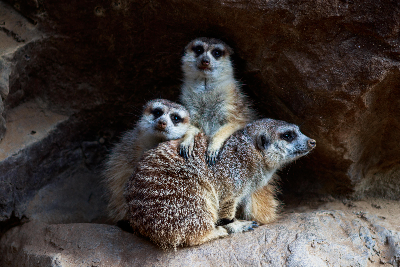 Meerkat_FamilyPortrait
