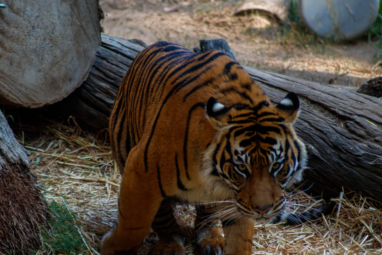 Tiger_Sumatran