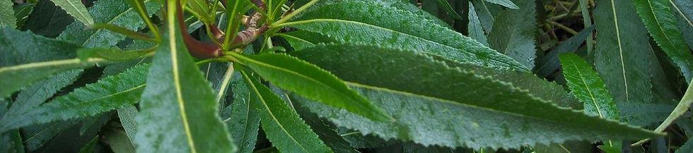 ys-leaves.jpg