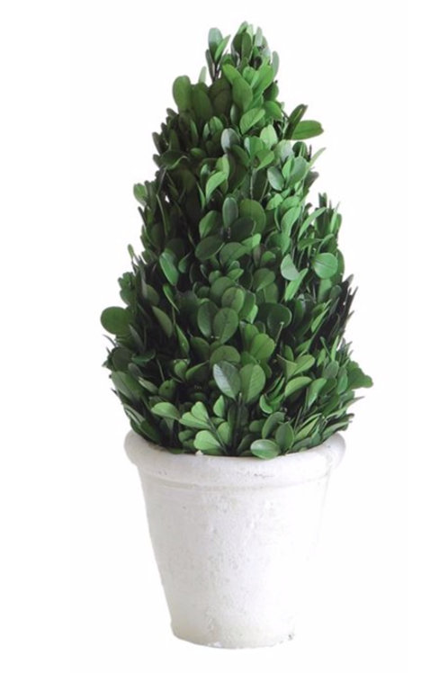 """4"""" Round x 11""""H Preserved Boxwood Cone Topiary in Clay Pot"""