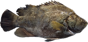 Tripletail_edited.png