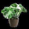 monstera-deliciosa-medium-house-plant-mo