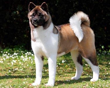 Hårtab og skællen hos hund
