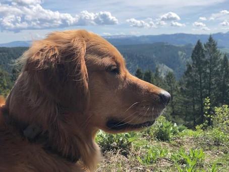 Ginger, the Great Golden Guru