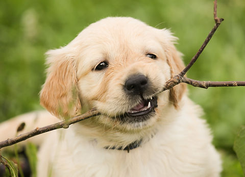 Canva - Puppy with a Twig on Mouth.jpg
