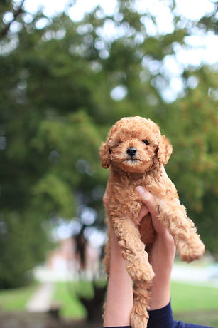 Canva - Apricot Toy Poodle Puppy.jpg